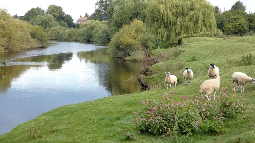 Grazing Sheep by the River Ouse