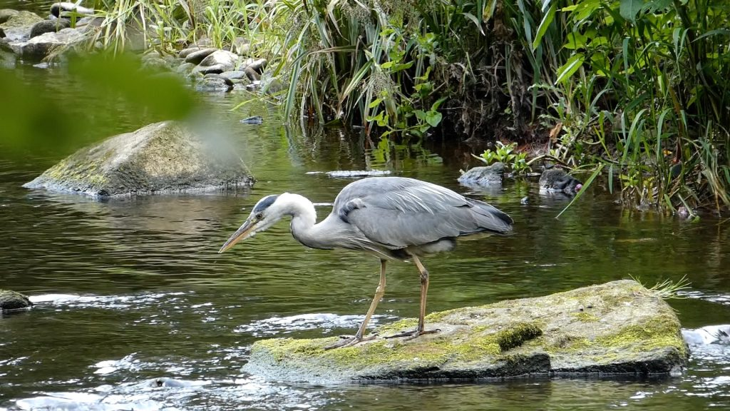 Grey Heron Knaresborough