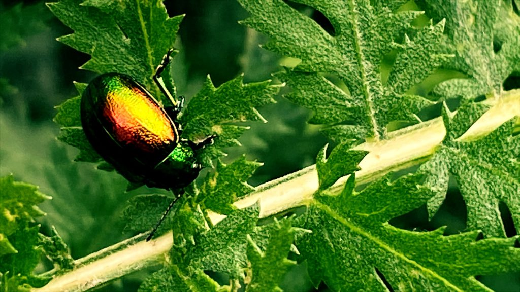 Tansy Beetle York River Ouse Walk